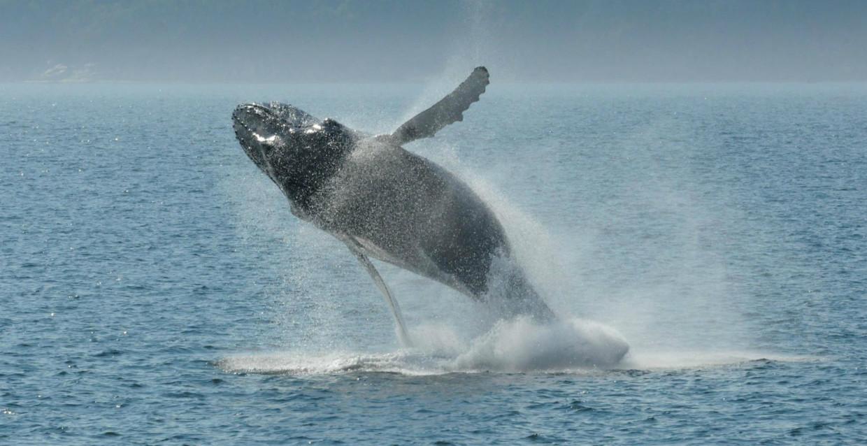 Baleine dans le Fleuve Saint-Laurent